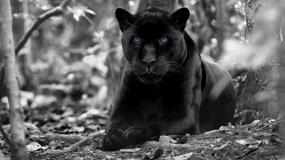 Black panther with blue eyes - Monochrome photography wallpaper