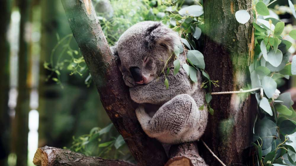 Sleeping Koala wallpaper
