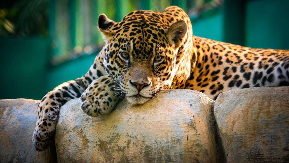 Beautiful Jaguar wallpaper