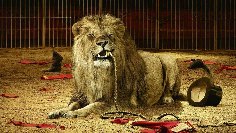 Circus lion wallpaper