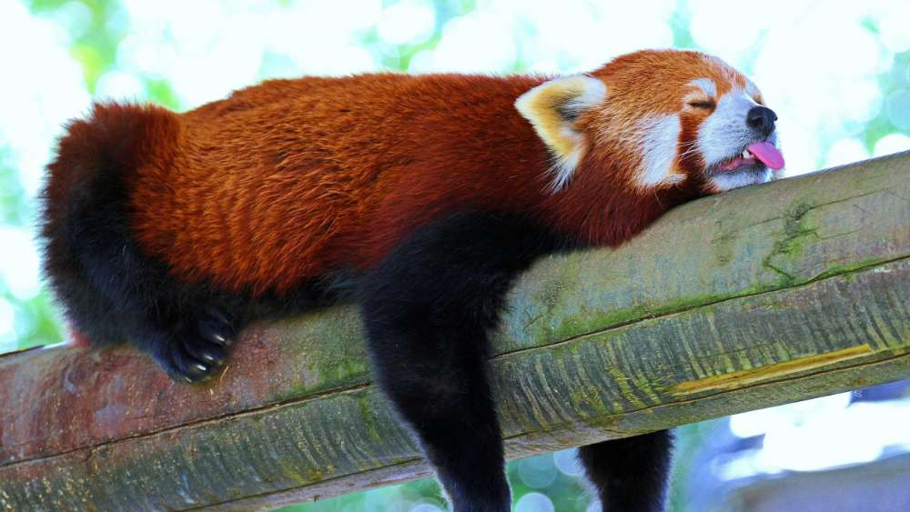 Sleeping Red Cat Bear wallpaper