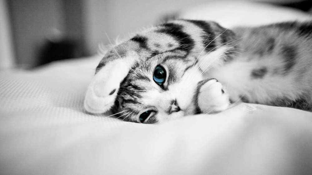 Blue eyed cat - Monochrome photography wallpaper