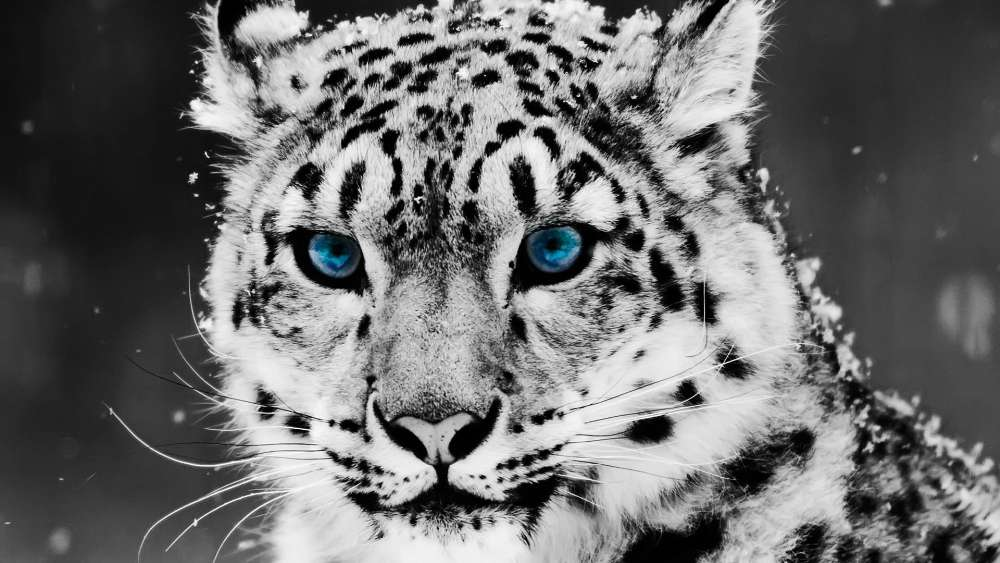 Snow leopard with blue eyes - Monochrome photography wallpaper