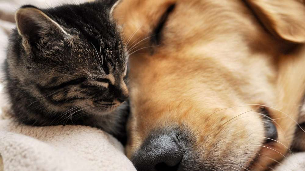 Cat and dog sleep together wallpaper
