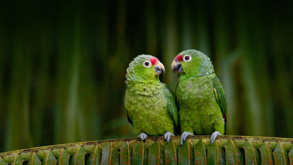Parrot couple wallpaper