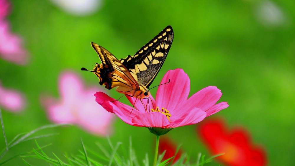 Butterfly on a pink flower  wallpaper
