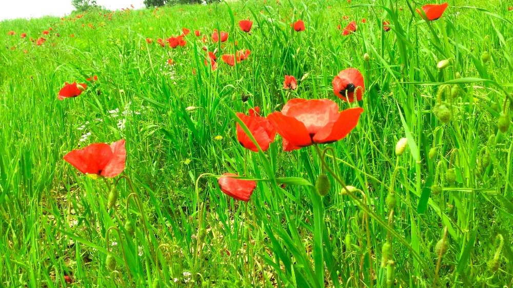 Poppies in the grass wallpaper