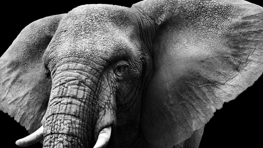 Gray Elephant wallpaper