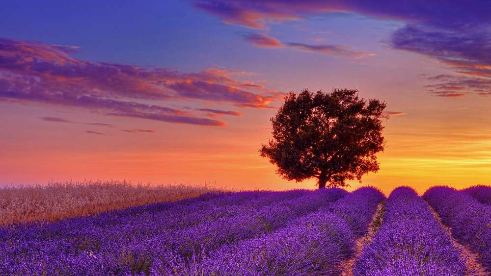 Lavender field with a lone tree wallpaper