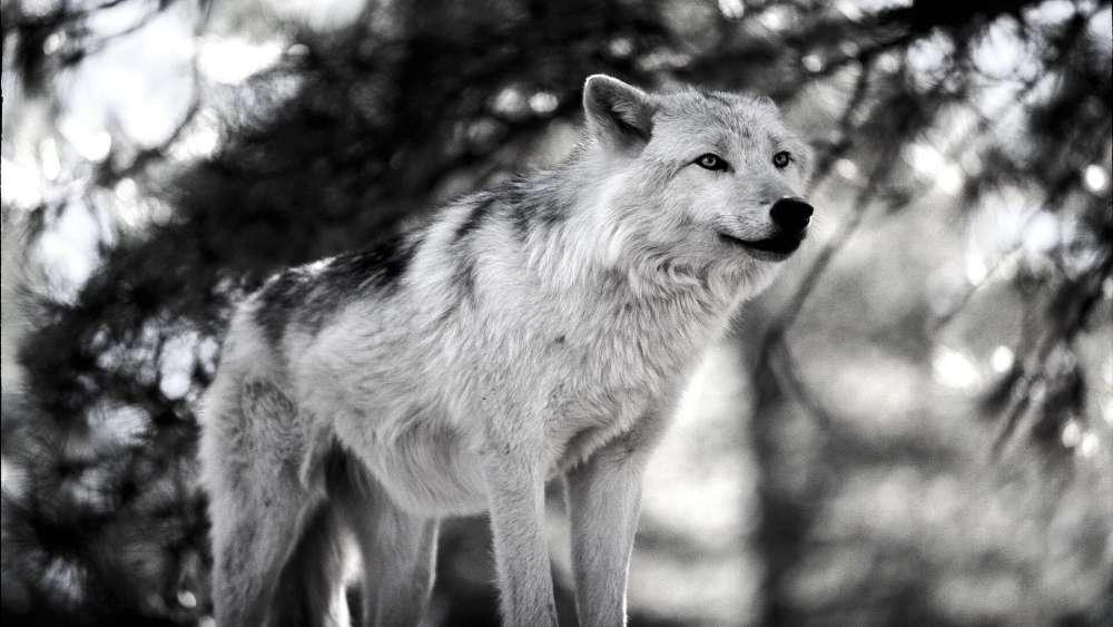 Wolf monochrome photography wallpaper