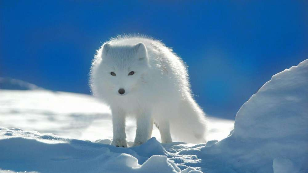 Tundra wildlife - Arctic fox wallpaper