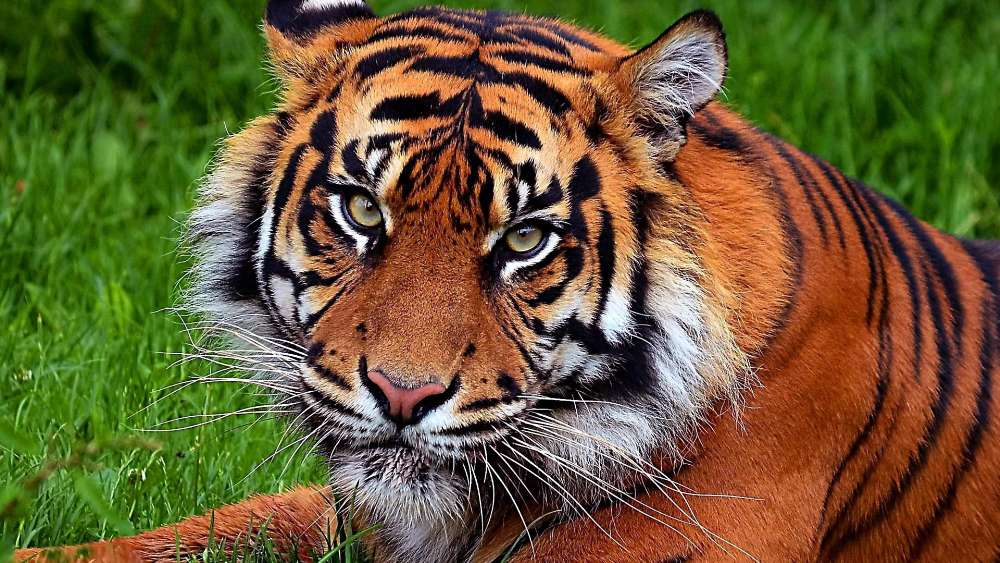 Beatiful South China tiger wallpaper