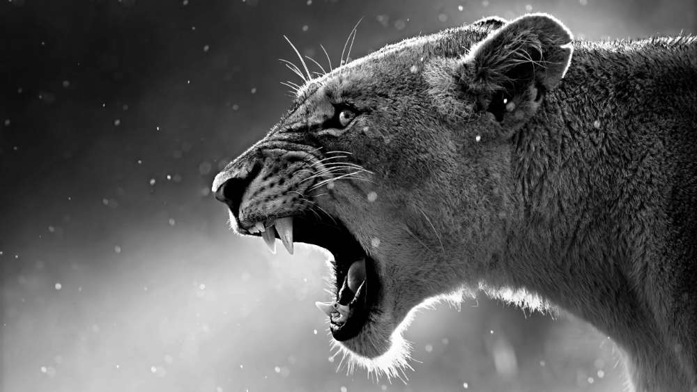 Roaring lioness monochrome photo wallpaper