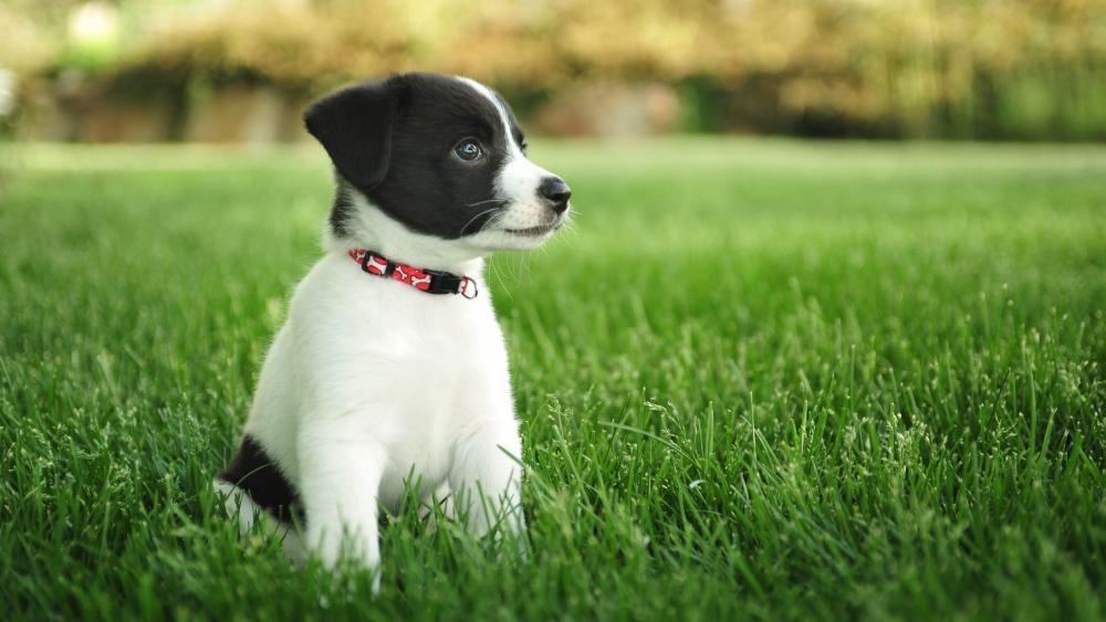Jack Russell Terrier puppy wallpaper