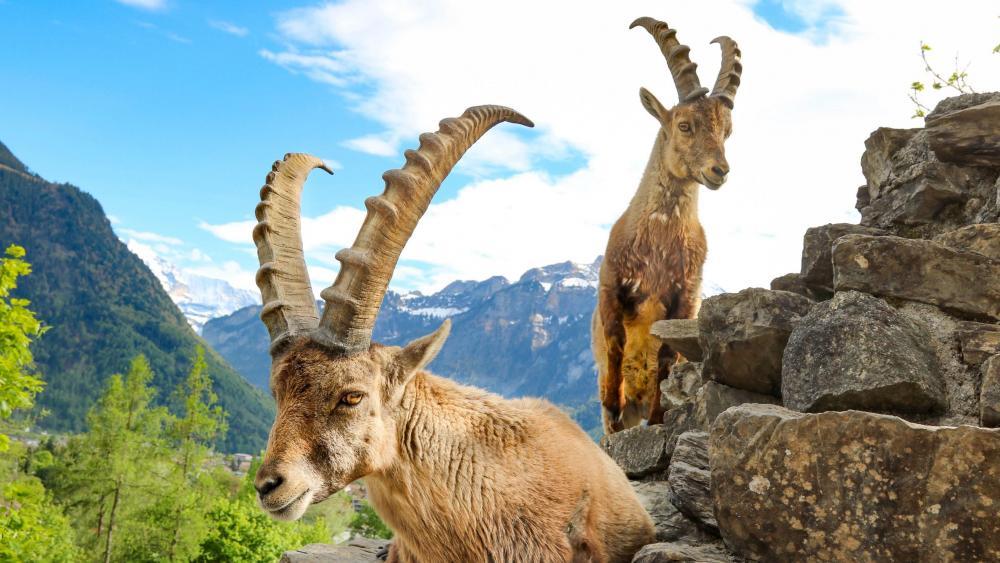 Alpine ibex in Swiss Alps (Interlaken, Switzerland) wallpaper