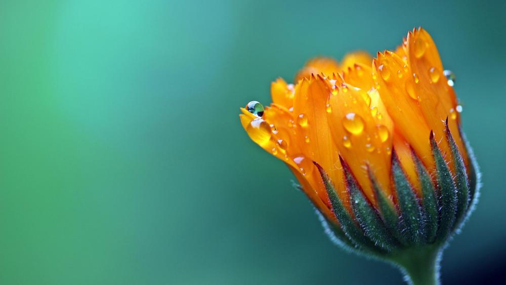 Merrigold flower macro photography  wallpaper