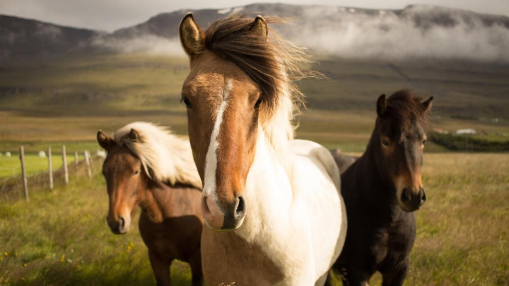Icelandic horses wallpaper