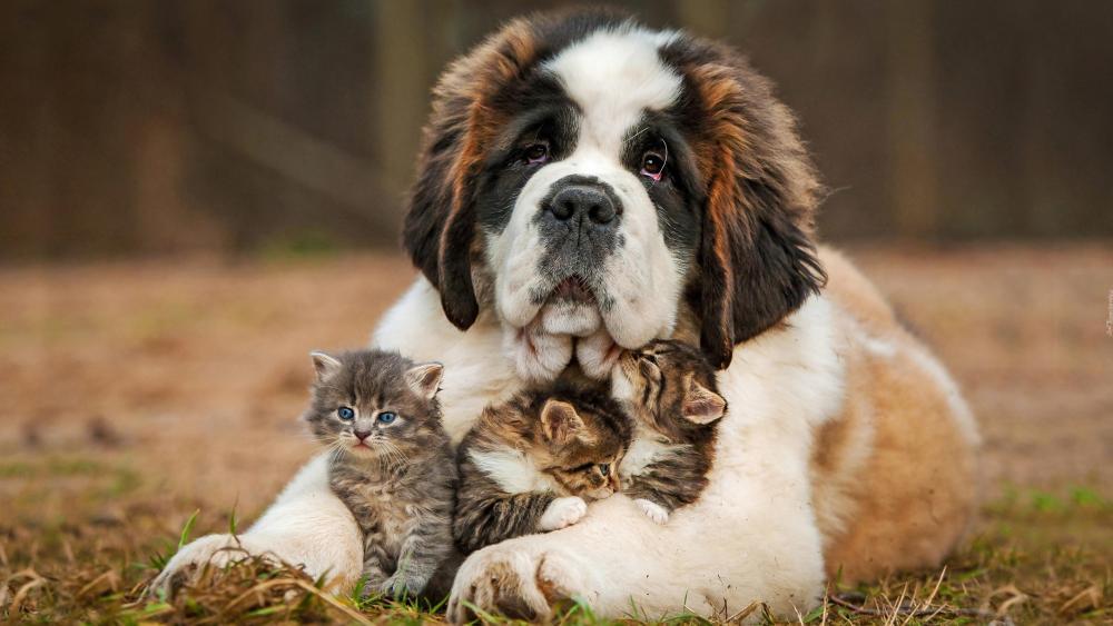 Saint Bernard dog with kittens wallpaper