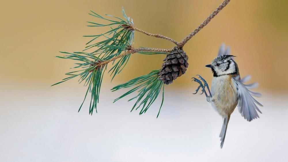 European crested tit wallpaper