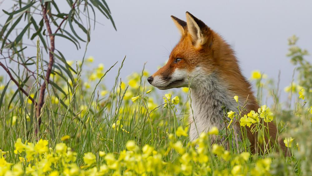 Fox in the flowerfield - Wildlife photography wallpaper