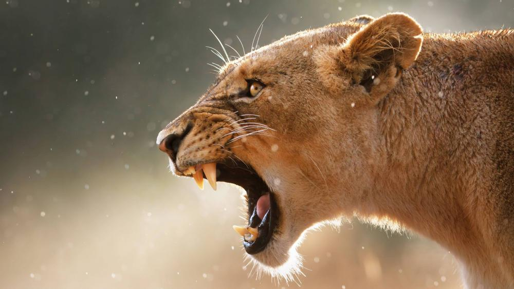 Lioness roaring wallpaper