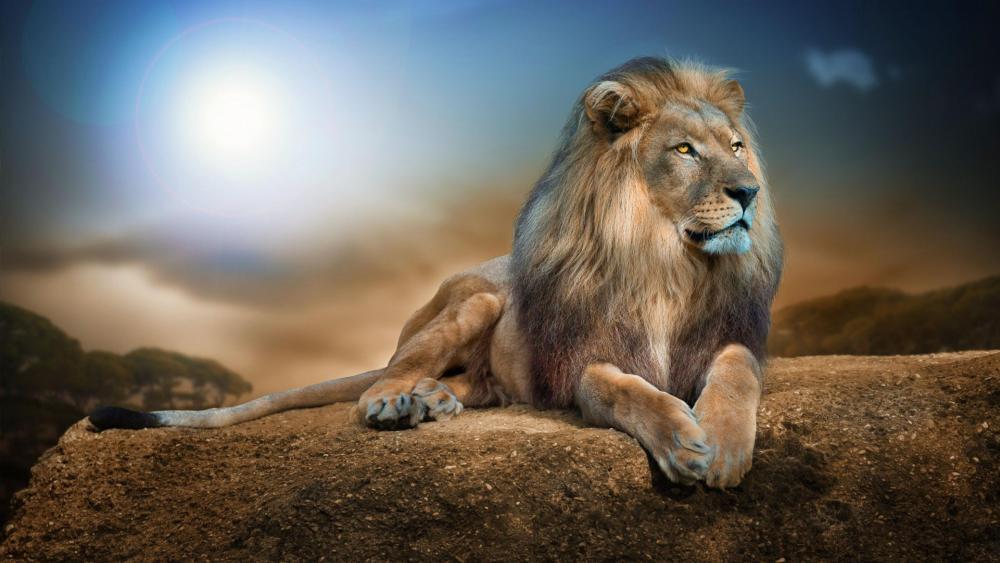 Beautiful lion on a big rock wallpaper