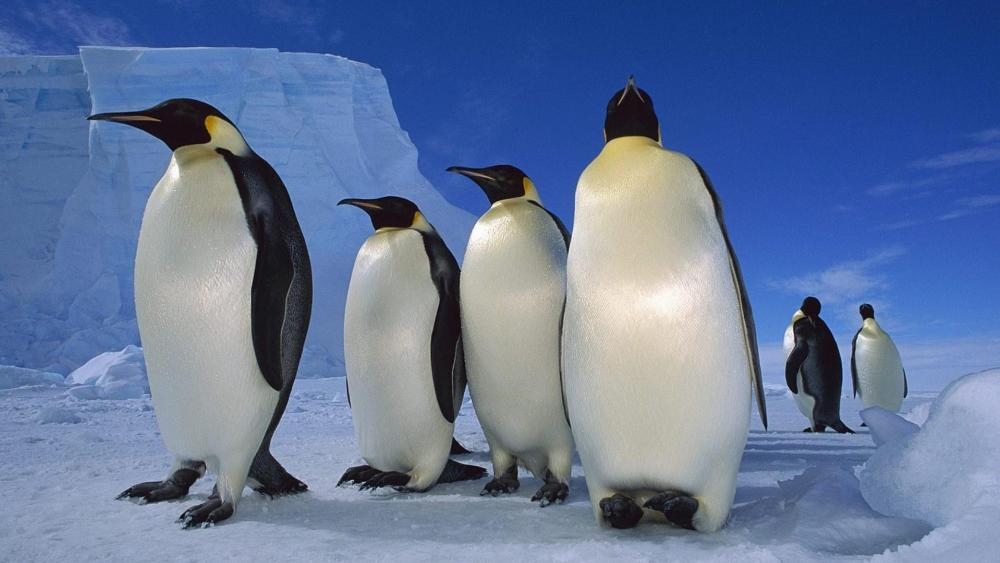 Emperor penguins in Antarctica wallpaper