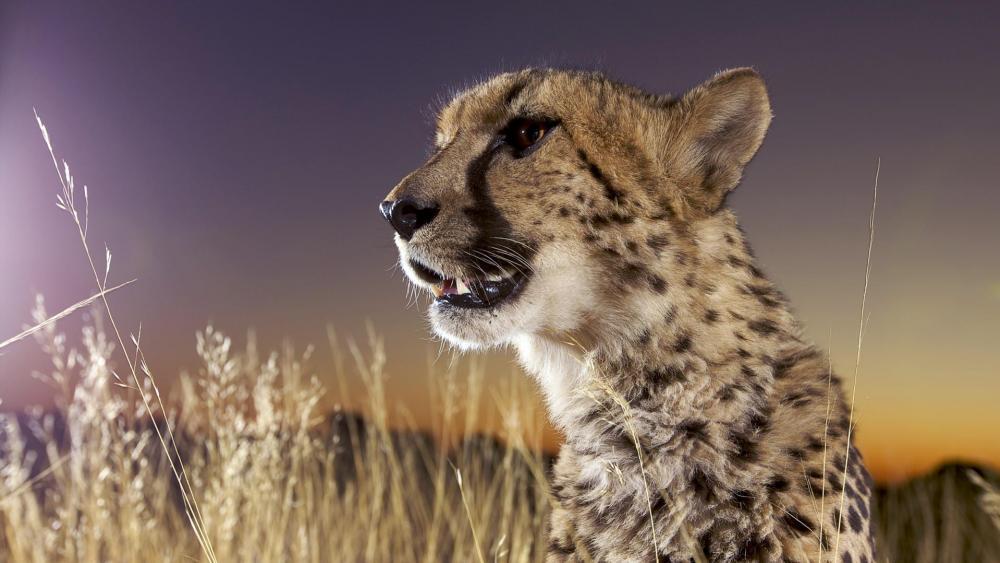 Cheetah in the sunset wallpaper
