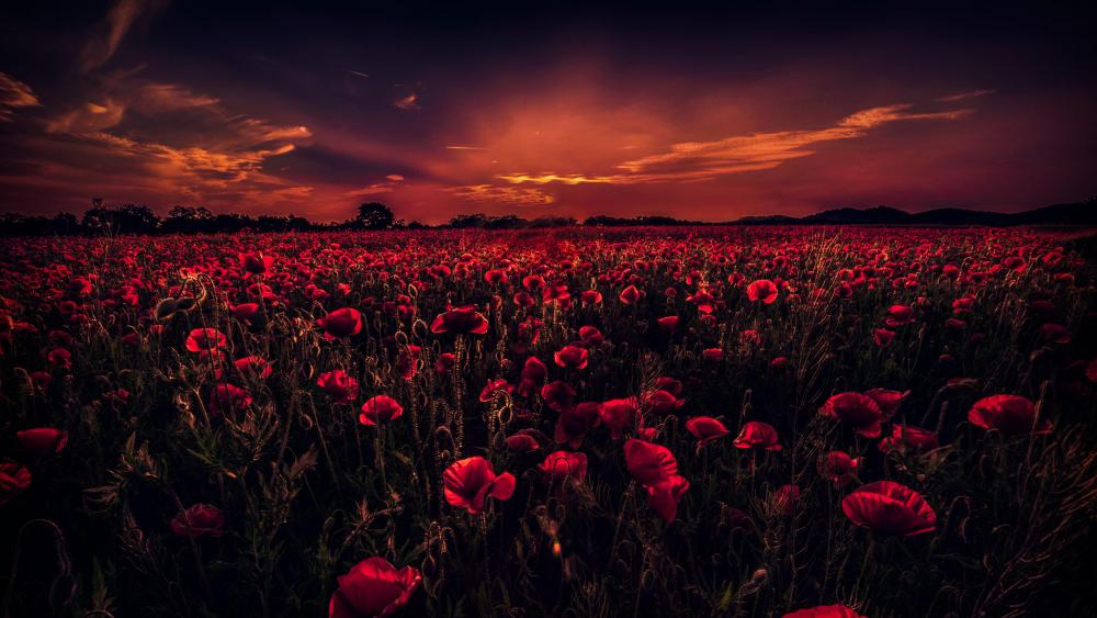 Poppy field in the sunset wallpaper