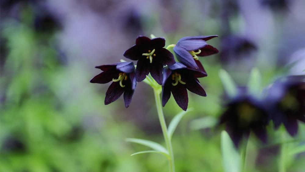 Black bellflowers wallpaper