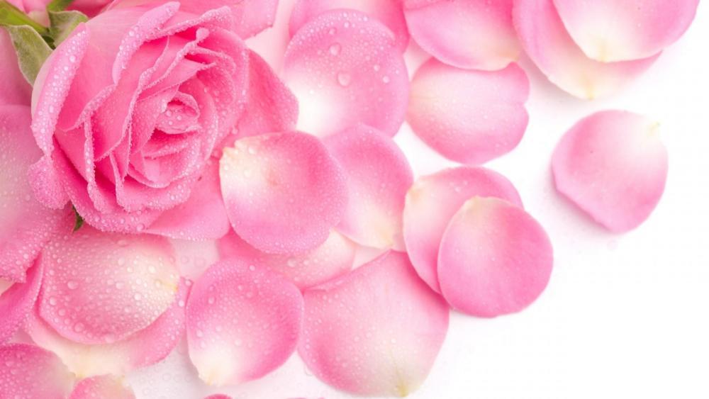 Pink rose petals wallpaper