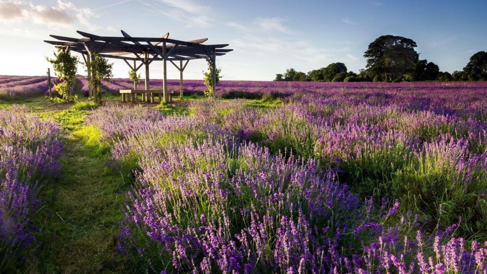 Lavender field wallpaper