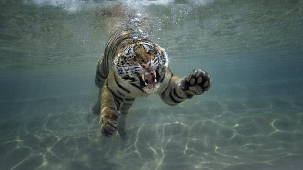 Tiger in the pool wallpaper