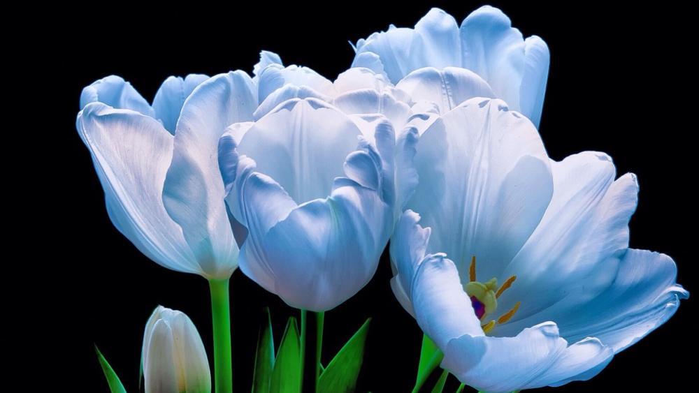Beautiful blue tulips wallpaper