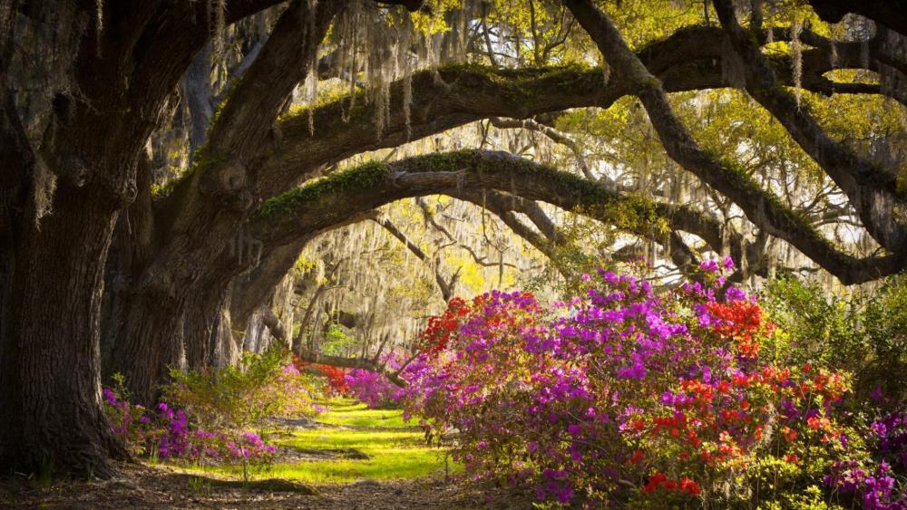 Magnolia Plantation and Gardens wallpaper