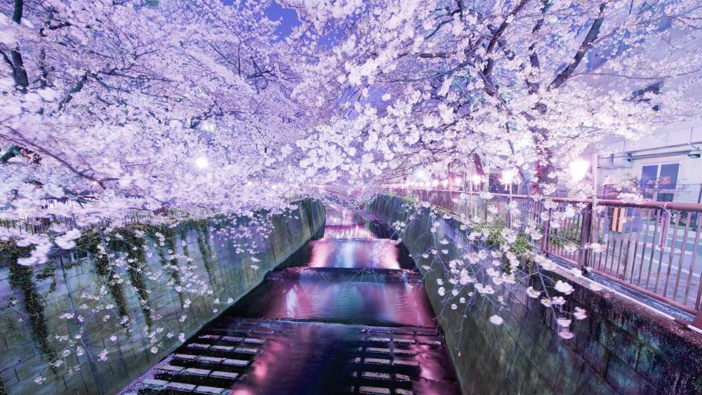 Cherry blossom above river wallpaper