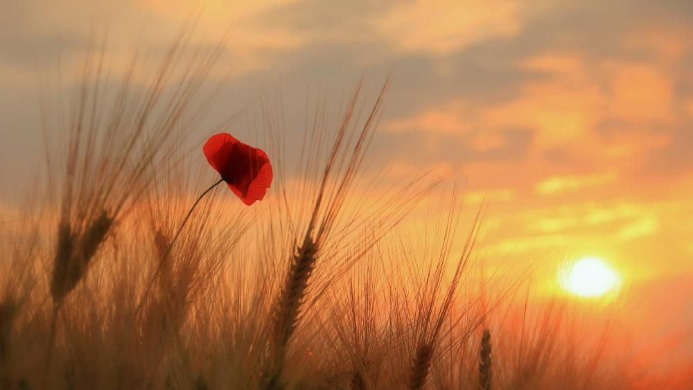 Wheat and poppy in the sunset  wallpaper