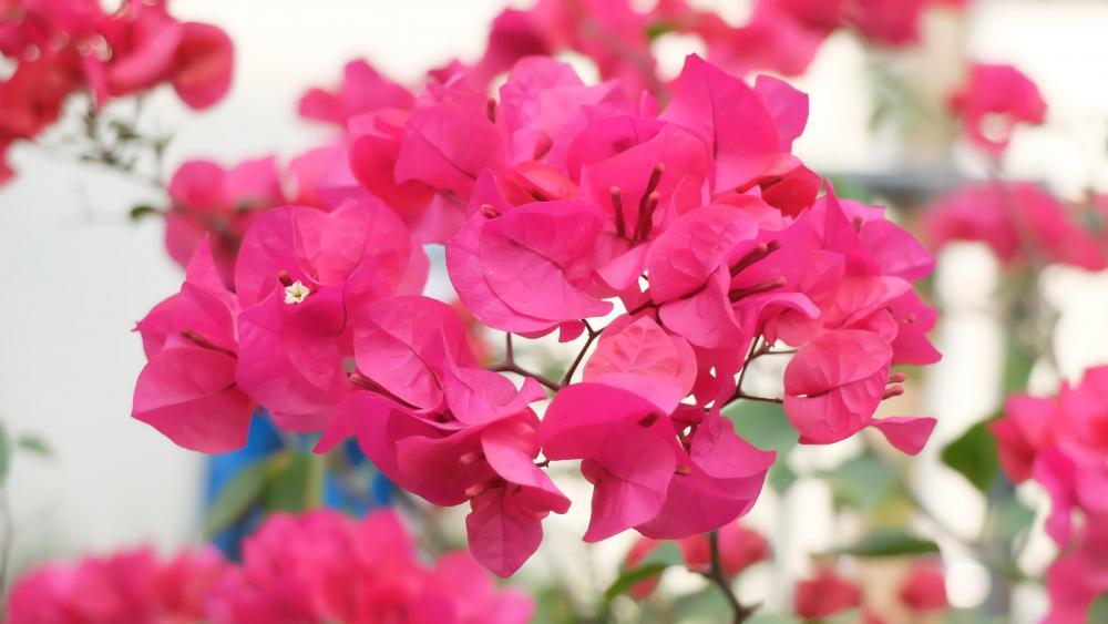 Bougainvillea flower wallpaper