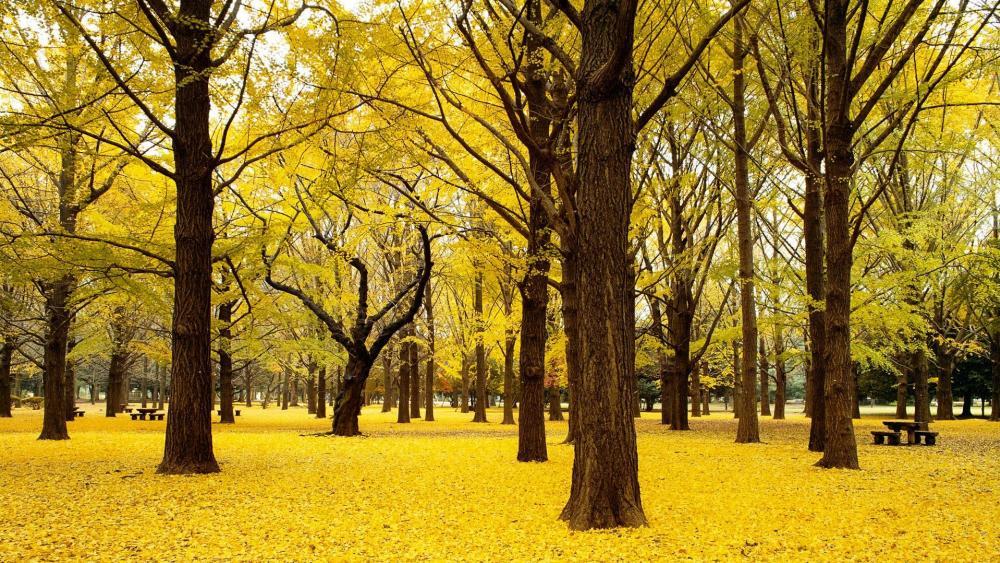 Autumn in Yoyogi Park, Tokyo  wallpaper