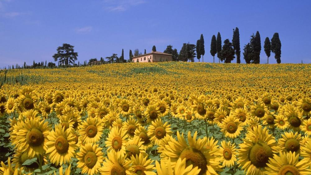 Sunflower Valley, Tuscany, Italy wallpaper
