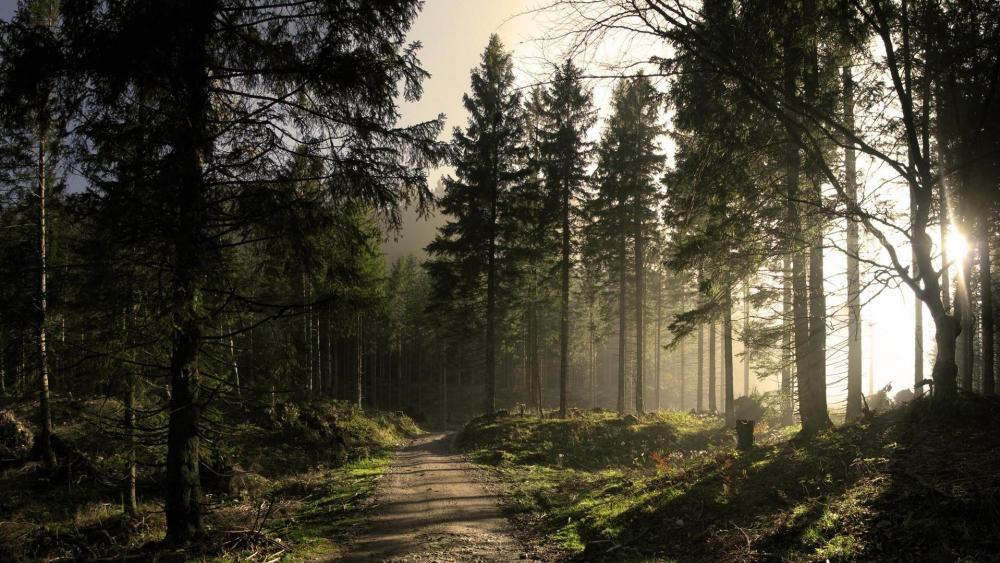 Sun shines through the pine trees ☀️ wallpaper