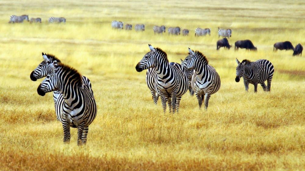 Zebras in Arusha National Park wallpaper