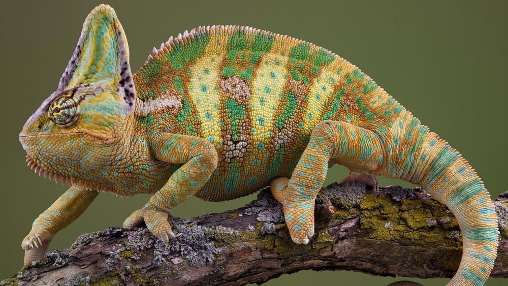 Reptile on the branch wallpaper