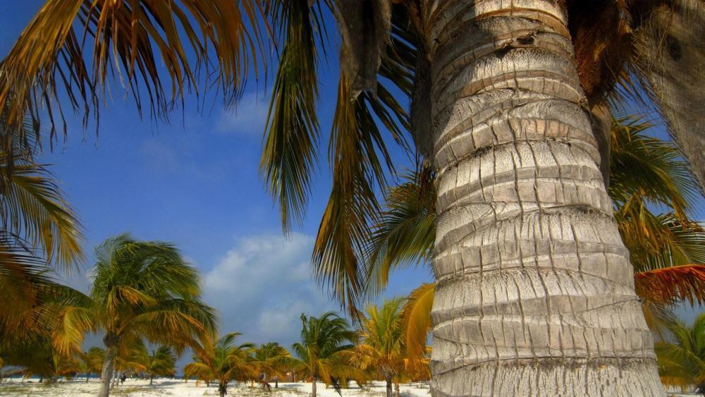 Palm beach in Cuba - Cayo Largo del Sur the uninhabited island wallpaper