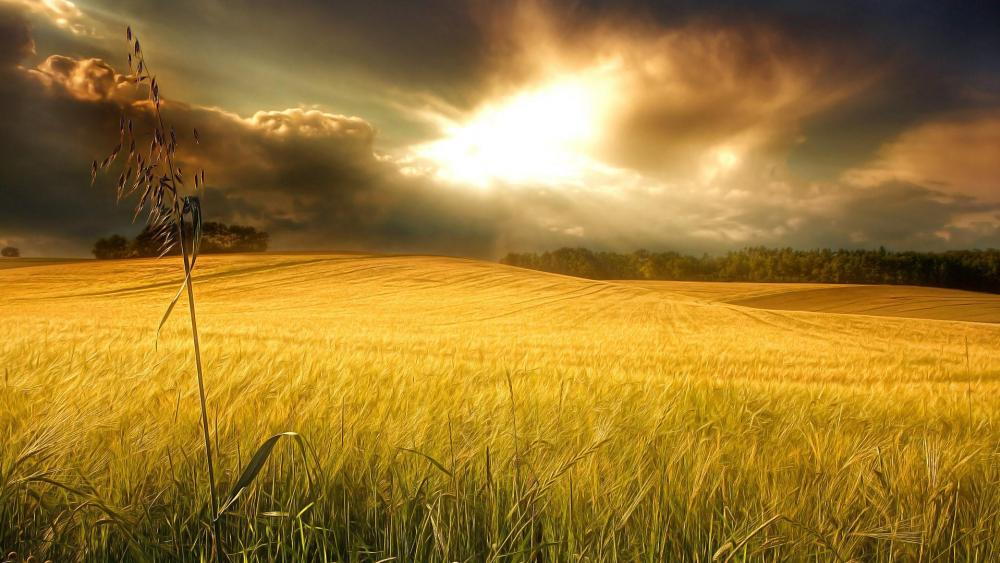 Morning sunlight above the wheat field ☀️ wallpaper