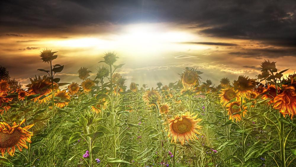 Summer sunflowers in the sunset wallpaper