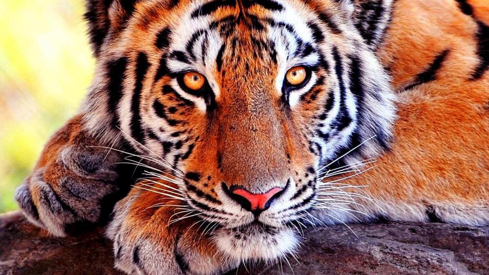 Tiger Portrait wallpaper