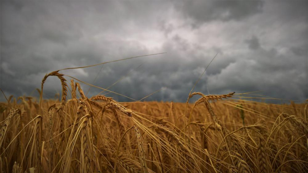 Wheat field with dark clouds wallpaper