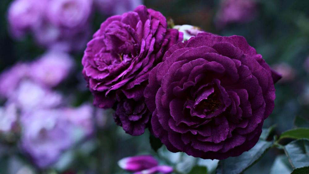 Amazing purple roses wallpaper