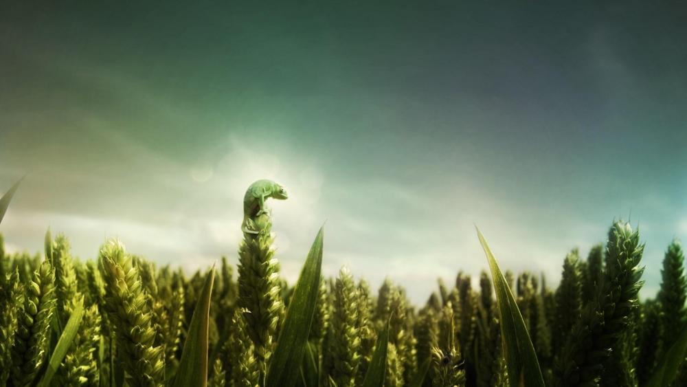 Green wheat field wallpaper